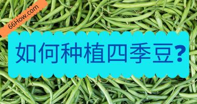 如何种植四季豆