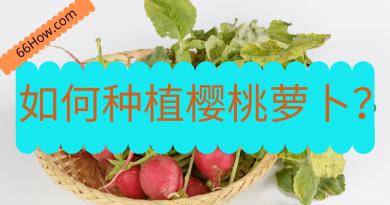 如何种植樱桃萝卜