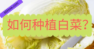 如何种植白菜?