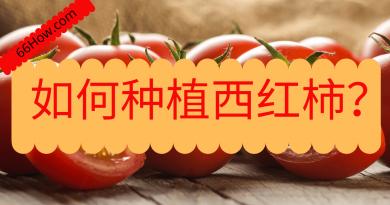 如何种植西红柿