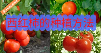 西红柿的种植方法