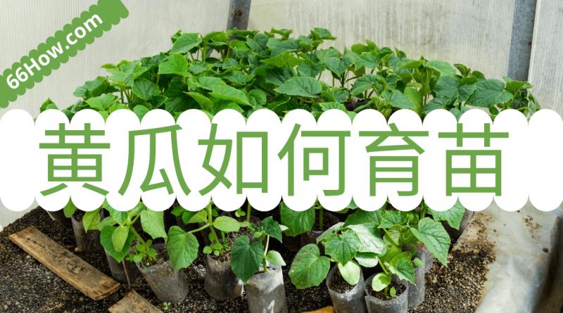 黄瓜如何育苗