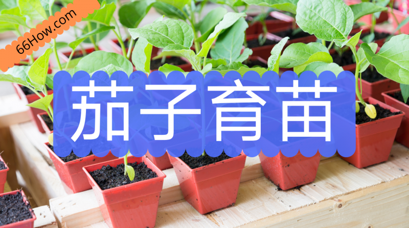 茄子育苗以及育苗中的常见问题