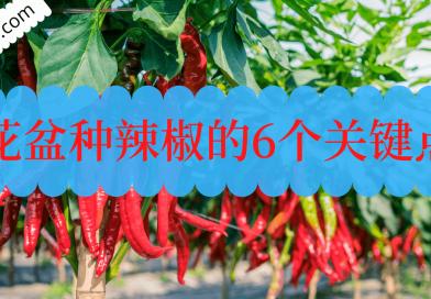 使用花盆种辣椒的6个关键点!成功花盆种辣椒贴士!
