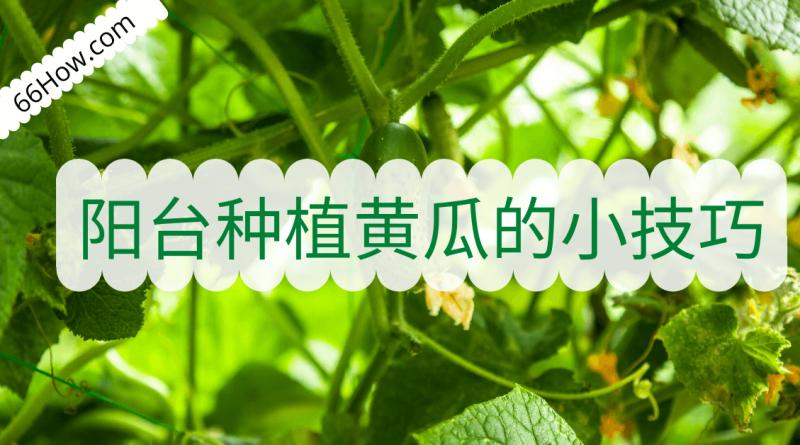 阳台种植黄瓜的六个小技巧