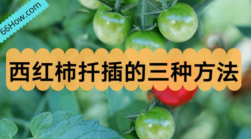 西红柿扦插的三种方法