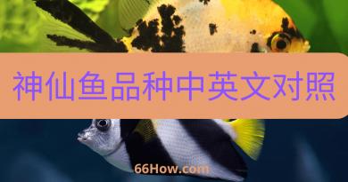神仙鱼英文 – 神仙鱼品种中英文对照 – 养鱼爱好者必备
