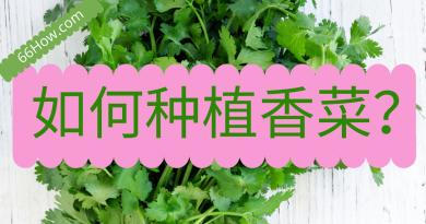 如何种植香菜