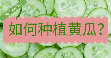 如何种植黄瓜
