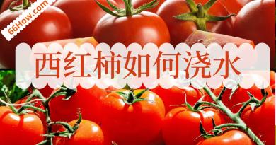 西红柿如何浇水