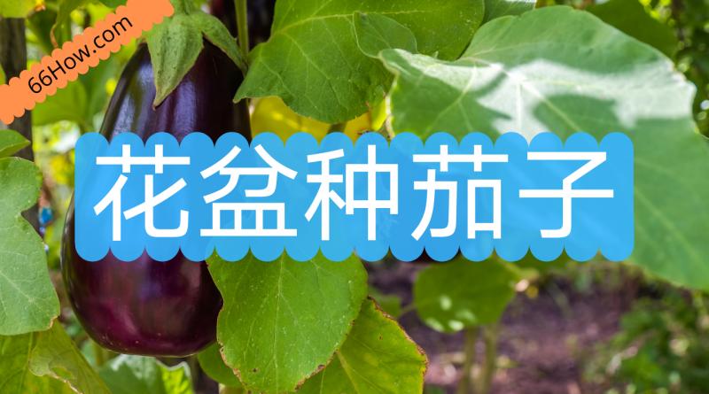 花盆种茄子