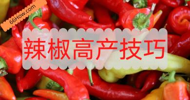 辣椒高产技巧