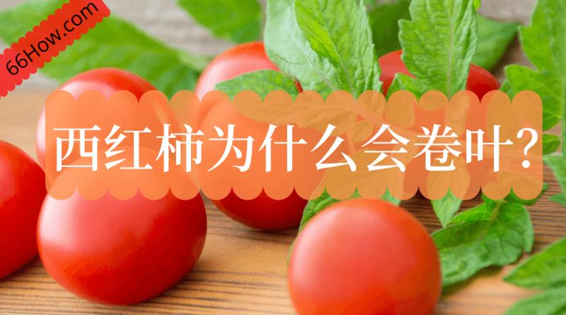 西红柿为什么会卷叶
