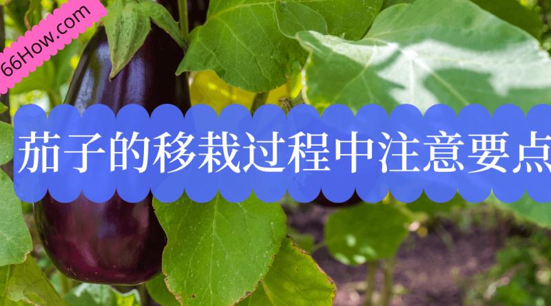 茄子的移栽过程中需要注意的几个要点