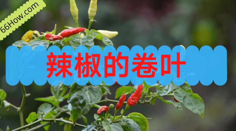 辣椒的卷叶以及破旧叶子的处理